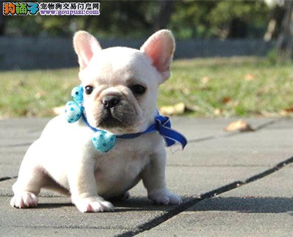 福州出售纯种法国斗牛犬幼犬奶油血法牛小短体斗牛犬