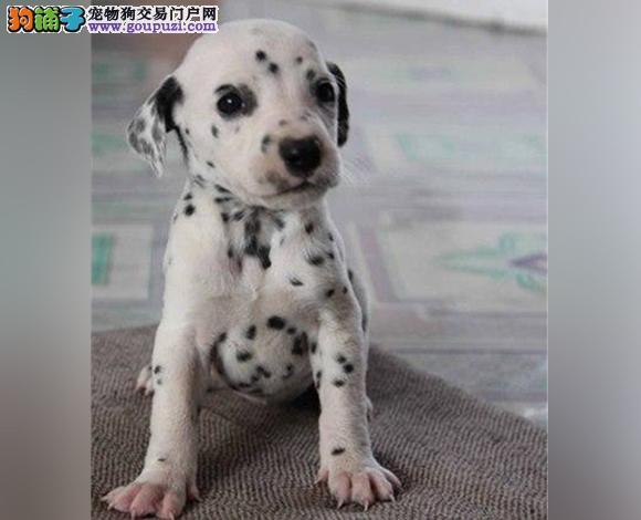 济南出售纯种斑点犬幼犬大麦町犬花色均匀包健康包纯种