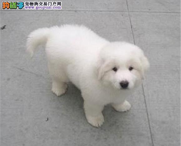 济南出售纯种大白熊犬幼犬大骨架济南大白熊多少钱