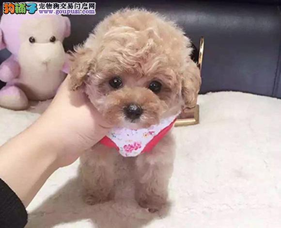 青岛出售纯种泰迪贵宾犬泰迪幼犬娃娃脸泰迪茶杯犬