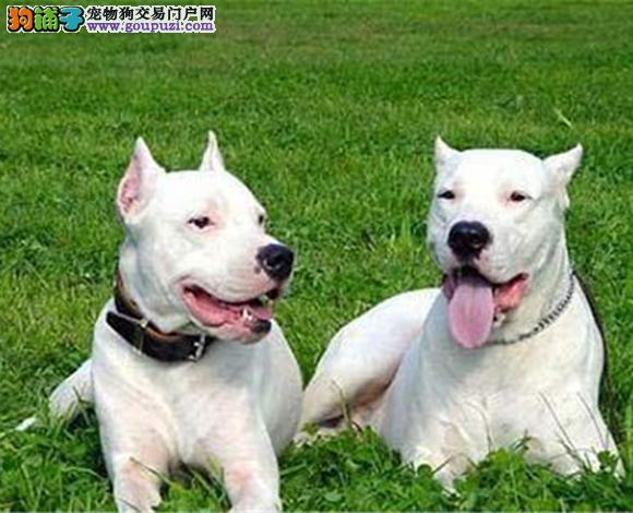 青岛出售纯种杜高犬护卫犬猛犬打猎犬杜高多少钱