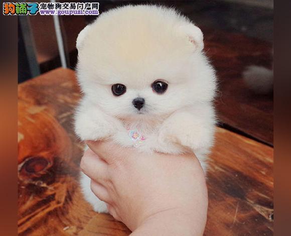 赣州出售纯种博美犬博美幼犬哈多利球形博美俊介宝宝