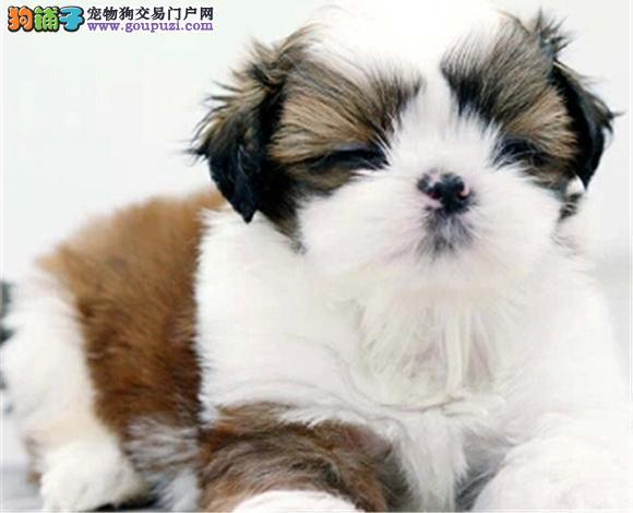 合肥出售纯种西施犬幼犬长毛犬贵族犬多少钱哪里买