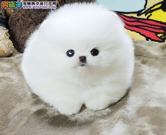 合肥出售纯种博美犬博美幼犬哈多利球形博美俊介宝宝