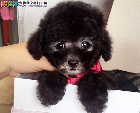合肥出售纯种泰迪贵宾犬泰迪幼犬娃娃脸泰迪茶杯犬