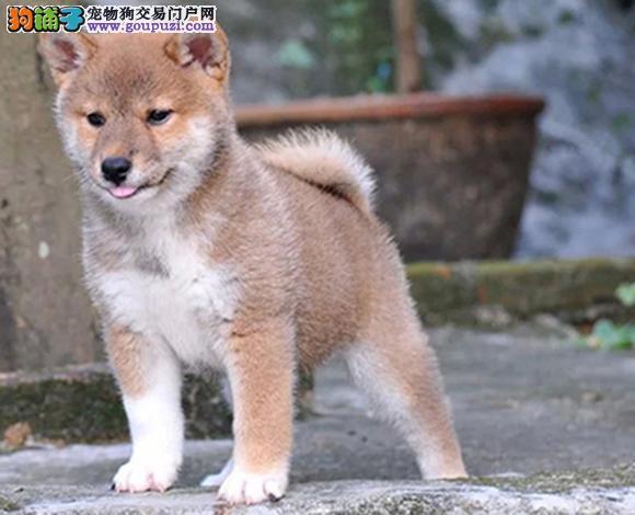 珠海出售纯种日系柴犬幼犬赛级柴犬豆柴网红脸柴犬狗狗