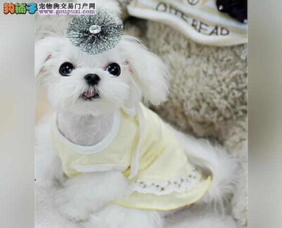 珠海出售纯种西施犬幼犬长毛犬贵族犬多少钱哪里买