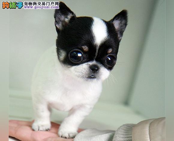 珠海出售纯种吉娃娃幼犬苹果头大眼睛小体墨西哥吉娃娃