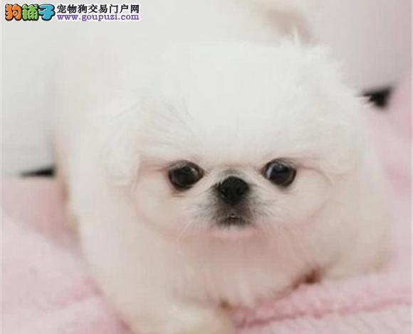珠海出售京巴犬幼犬哈巴狗高贵北京犬迷你京巴多少钱
