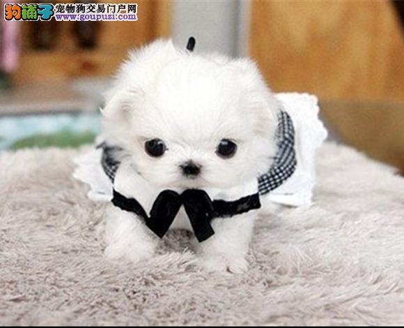 珠海出售马尔济斯犬幼犬小体长毛国外引进贵族犬
