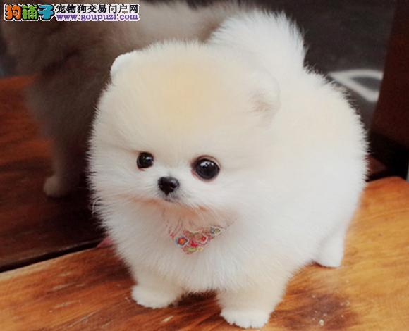 珠海出售纯种博美犬博美幼犬哈多利球形博美俊介宝宝