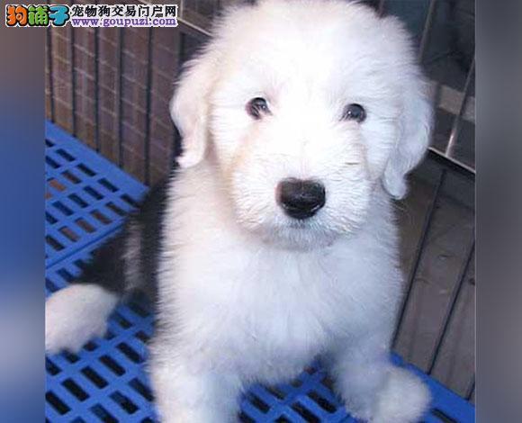 珠海出售纯种古牧幼犬白头齐肩通背四蹄踏雪纯种健康