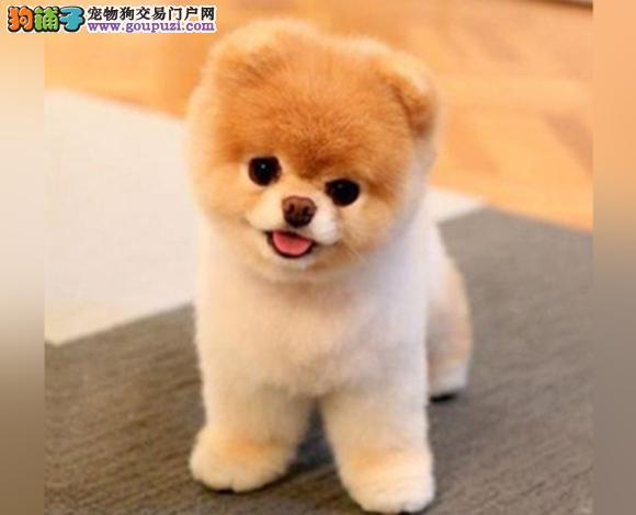 海口出售纯种博美犬博美幼犬哈多利球形博美俊介宝宝