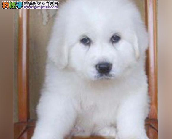 南宁出售纯种大白熊犬幼犬大骨架大白熊多少钱
