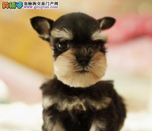 南宁出售雪纳瑞犬幼犬老头狗迷你体雪纳瑞哪里买多少钱