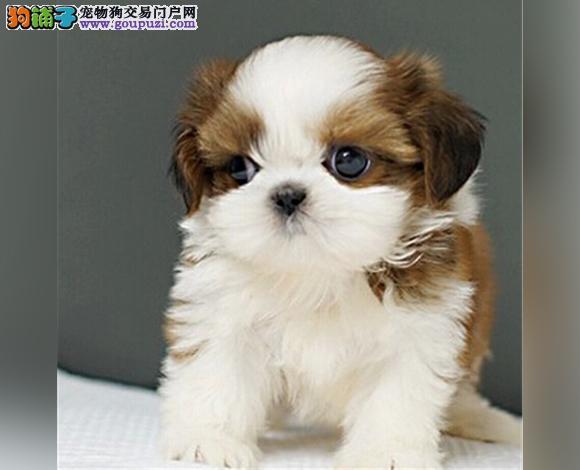 南宁出售纯种西施犬幼犬长毛犬贵族犬多少钱哪里买