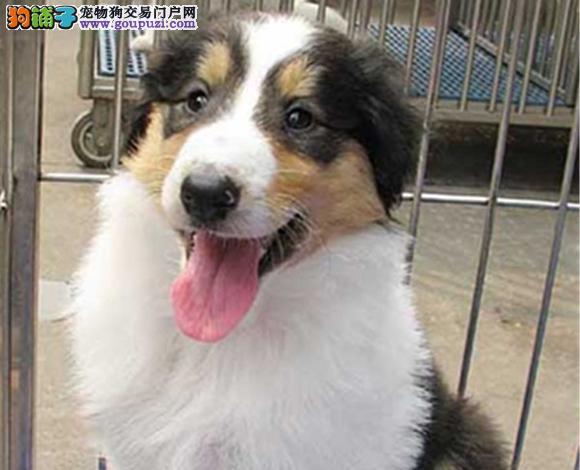 南宁出售纯种苏牧苏格兰牧羊犬幼犬长毛伴侣犬多少钱