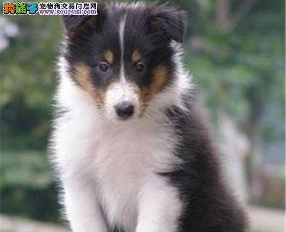 宜昌出售纯种苏牧苏格兰牧羊犬幼犬长毛伴侣犬多少钱