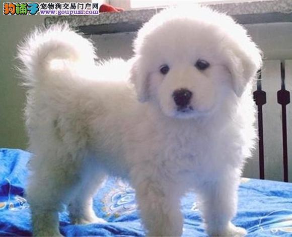 宜昌出售纯种大白熊犬幼犬大骨架大白熊多少钱