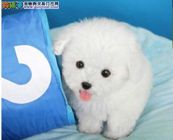 宜昌出售纯种泰迪贵宾犬泰迪幼犬娃娃脸泰迪茶杯犬