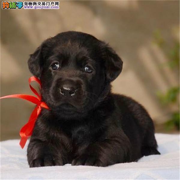 呼和浩特出售纯种拉布拉多犬幼犬导盲犬家养宠物狗狗