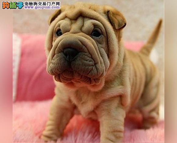 唐山出售纯种沙皮犬幼犬沙皮狗褶皱多哪里卖多少钱