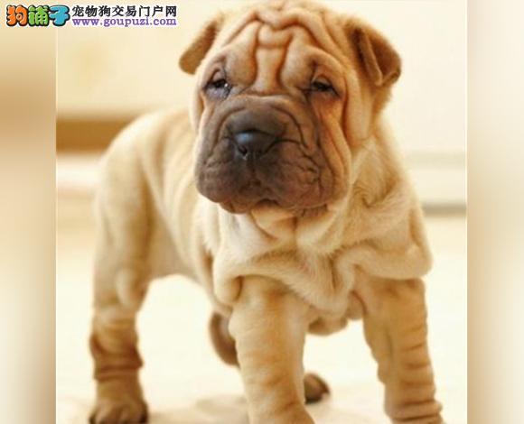 张家口出售纯种沙皮犬幼犬沙皮狗褶皱多哪里卖多少钱