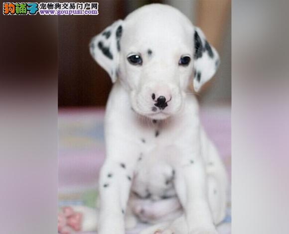 张家口出售纯种斑点犬幼犬大麦町犬花色均匀包健康