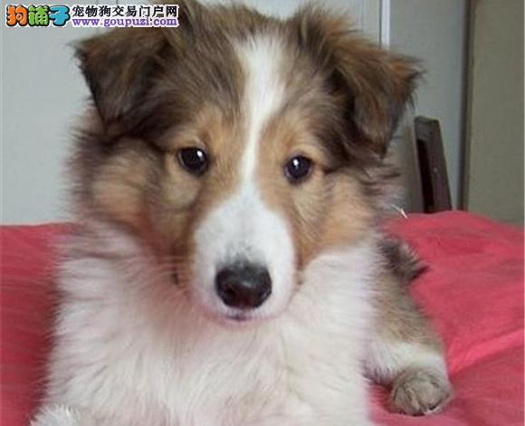 张家口出售纯种苏牧苏格兰牧羊犬幼犬长毛伴侣犬多少钱