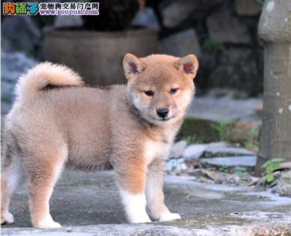张家口出售纯种日系柴犬幼犬赛级豆柴网红脸柴犬狗狗