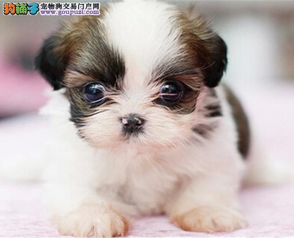 张家口出售纯种西施犬幼犬长毛犬贵族犬多少钱哪里买
