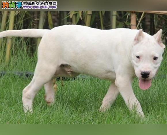 太原出售纯种杜高犬护卫犬猛犬打猎犬杜高多少钱