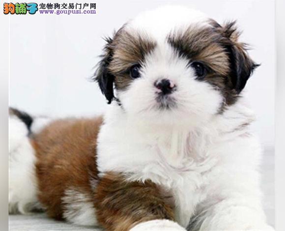 太原出售纯种西施犬幼犬长毛犬贵族犬多少钱哪里买