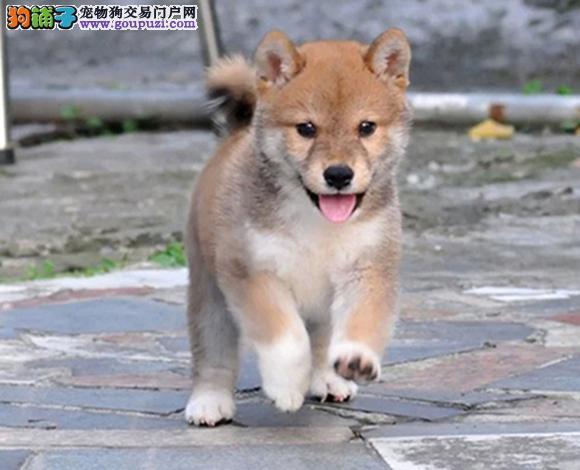 沈阳出售纯种柴犬日系柴犬幼犬赛级柴犬网红脸柴犬