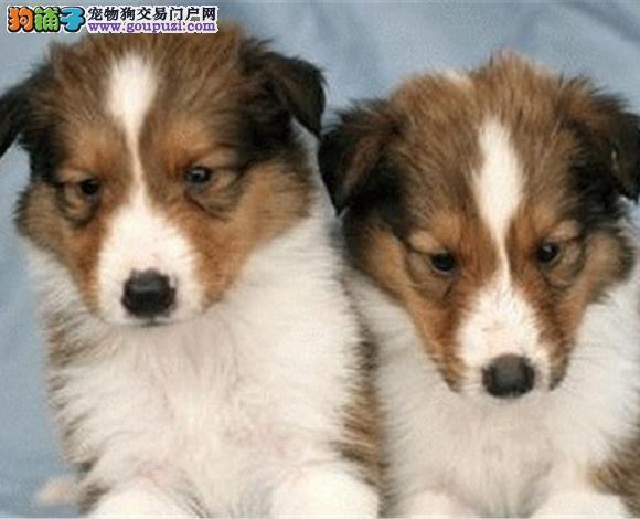 沈阳出售纯种苏牧苏格兰牧羊犬幼犬长毛伴侣犬多少钱