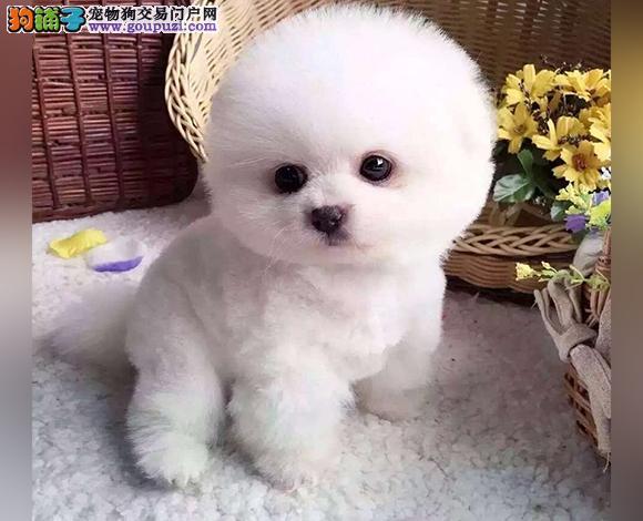 沈阳出售纯种博美犬博美幼犬哈多利球形博美俊介宝宝