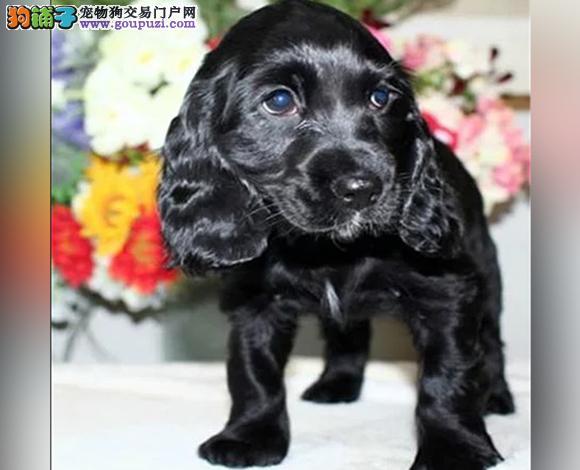 成都出售纯种可卡犬英卡犬美卡犬幼犬哪里买多少钱