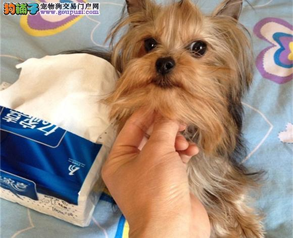成都出售纯种约克夏犬长毛犬金头银背娃娃脸贵族犬幼犬