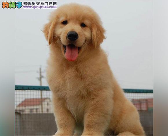 成都出售纯种金毛犬幼犬黄金猎犬巡回犬聪明温顺金毛犬