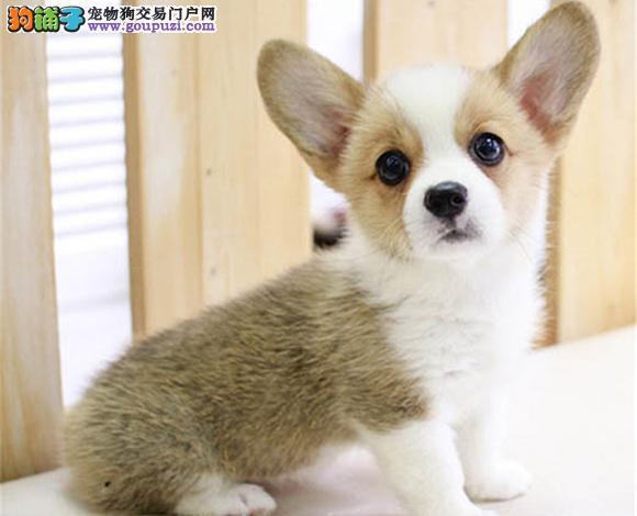 成都出售纯种柯基犬威尔士柯基幼犬小短腿柯基三色双色