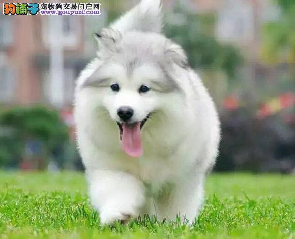 毕节出售纯种阿拉斯加犬幼犬熊版大骨架精品雪橇犬