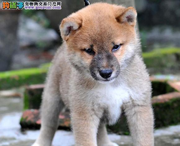 毕节出售纯种柴犬日系柴犬幼犬赛级柴犬网红脸柴犬