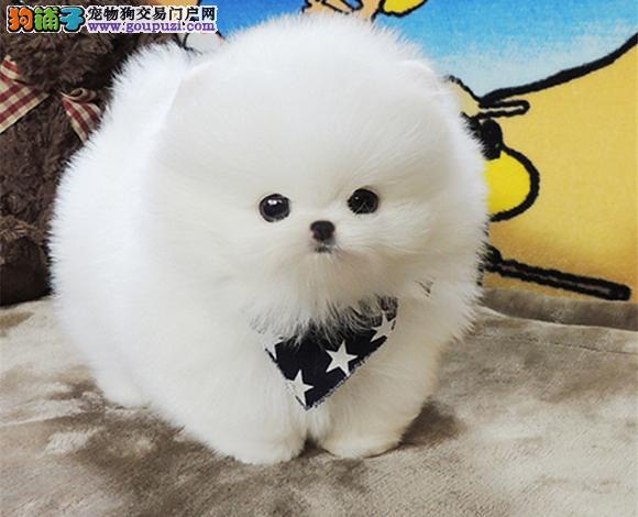 西安出售纯种博美犬博美幼犬哈多利球形博美俊介宝宝