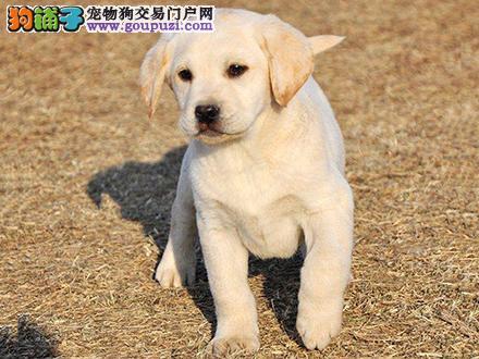 西安出售纯种拉布拉多犬拉拉幼犬导盲犬家养宠物狗狗