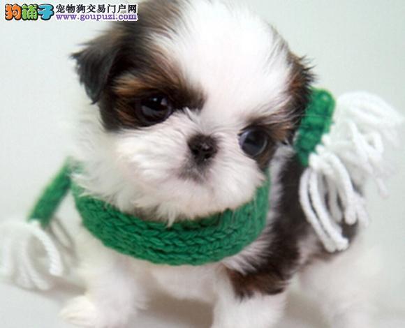 西安出售纯种西施犬幼犬长毛犬贵族犬多少钱哪里买