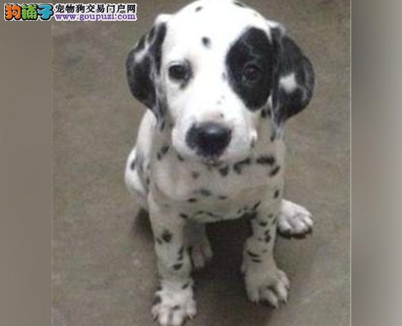 西安出售纯种斑点犬幼犬大麦町犬花色均匀包健康包纯种
