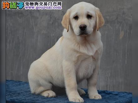 宝鸡出售纯种拉布拉多犬拉拉幼犬导盲犬家养宠物狗狗