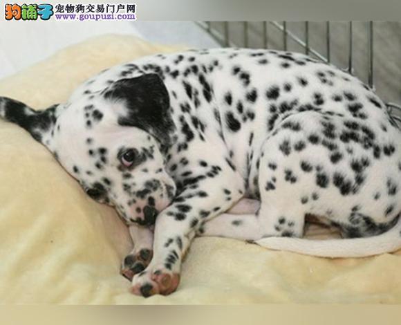 宝鸡出售纯种斑点犬幼犬大麦町犬花色均匀包健康包纯种