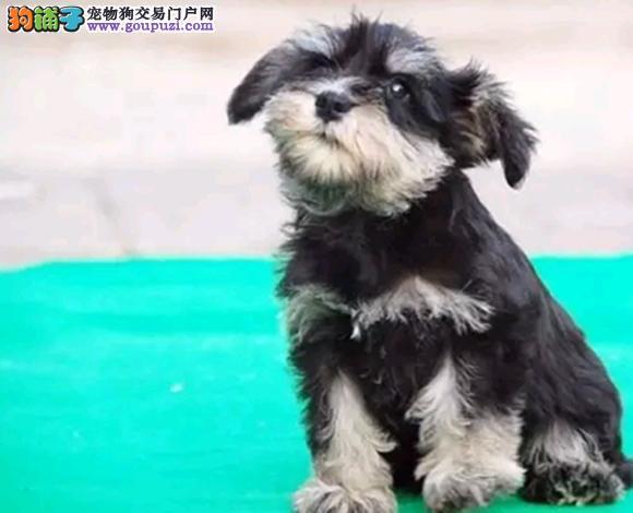 西宁出售雪纳瑞犬幼犬老头狗迷你体雪纳瑞哪里买多少钱