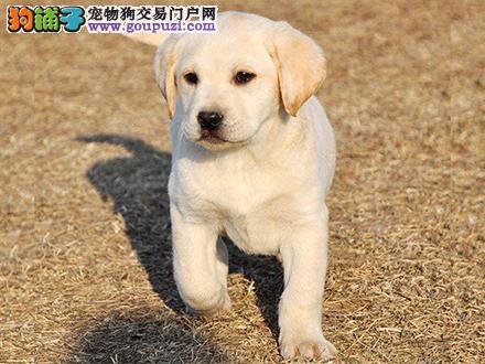 西宁出售纯种拉布拉多犬拉拉幼犬导盲犬家养宠物狗狗